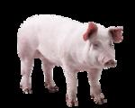 Tabela do Jogo do Bicho - Porco
